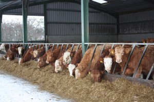 STFA calls for feedstuffs to go to livestock not renewable energy during fodder crisis